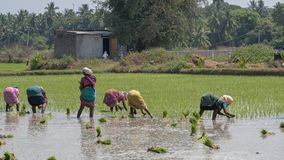 Women workers stooping to sow rice plants in Tamil Nadu. Villuppuram, India - March 18, 2018: Women workers undertaking the backbreaking task of sowing young Stock Photos