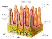 Villus intestinal Foto de Stock