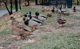 Ducks in the center of Vilnius. Royalty Free Stock Image