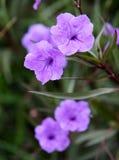 Vilolet blommor Royaltyfria Foton