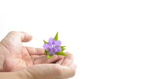 Vilolet flower and green leaves on hands isolate white as backgr Royalty Free Stock Images