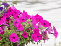 Vilolet flowers Royalty Free Stock Photo