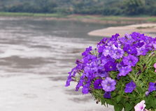 Vilolet flowers Royalty Free Stock Image