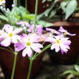 Vilot kleine bloemen Stock Foto's