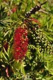 Viminalis pleurants de callistemon d'arbre de bottlebrush Image libre de droits