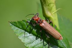 A vimineous insect Royalty Free Stock Photo