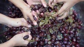 Vin à la maison de fruits de raisins traitant l'écrasement complet du fruit avec beaucoup de jeunes mains nues femelles banque de vidéos