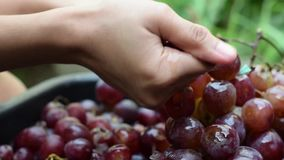 Vin à la maison de fruits de raisins traitant l'écrasement complet du fruit avec de jeunes mains nues femelles banque de vidéos