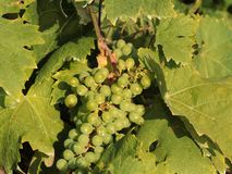 Vin är nektaret av Gods_14en royaltyfria foton