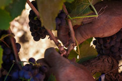 Vin italien de gisements de raisins Image libre de droits