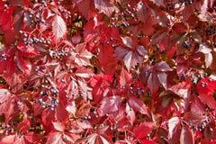 Vin sauvage d'automne Image libre de droits
