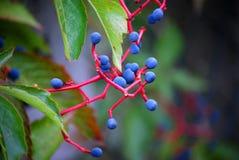 Vin sauvage en automne Photographie stock