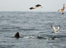 Vin van een Grote witte haai en Zeemeeuwen Stock Afbeelding