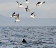 Vin van een Grote witte haai en Zeemeeuwen Royalty-vrije Stock Foto's