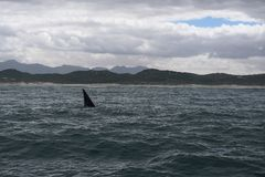 Vin van een Zuidelijke Juiste Walvis in de baai van Hermanus in de Indische Oceaan stock foto
