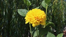Vina flower. Image was shot in jambol stock video footage