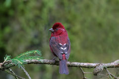 Vinacceus Rose Finch, Carpodacus vinaceus Stock Photos