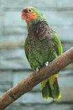 Vinaceaous lorikeet Royalty Free Stock Images