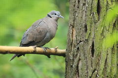 Vinaceous dove Royalty Free Stock Image