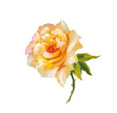 Vinage pink and yellow roses. Royalty Free Stock Image