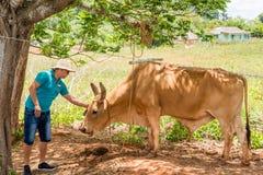 VINALES,古巴- 2017年5月13日:帽子的一个人抚摸古巴公牛 复制文本的空间 库存图片