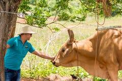 VINALES,古巴- 2017年5月13日:帽子的一个人抚摸古巴公牛 特写镜头 免版税图库摄影