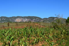 Vinales,古巴的领域 库存图片