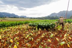 VINALES, CUBA - FEB 19, 2016: Tobacco farmer working on his field in Guasasa valley near Vinales, Cub stock images