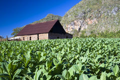 vinales för tobak för cuba dryinghus Arkivfoto