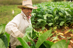 VINALES - FEBRUARY 20: Unknown man working on tobacco field on F Stock Images