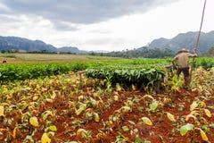 VINALES, KUBA - 19. FEBRUAR 2016: Tabaklandwirt, der an seinem Feld in Guasasa-Tal nahe Vinales, CUB arbeitet stockbilder