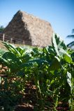 Vinales Valley, Tobacco Field. Sun shining down on newly grown tobacco plants at a farm in Vinales Valley Cuba royalty free stock image