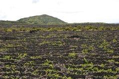 Vinayards em Pico, Açores Imagem de Stock