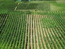 Vinayards plots. Plots and rows of green vineyards on hill at hot sunny afternoon Stock Photo