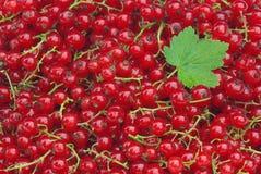 Vinbär 04 Arkivfoto