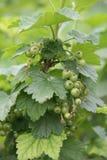 Vinbär med gröna omogna bär Royaltyfri Fotografi