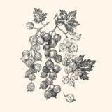 vinbär Tre kvistar av vinbär stock illustrationer