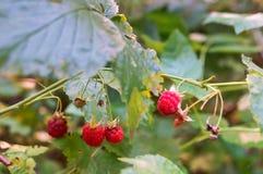 Vinbärbuskar för löst hallon, hallon i träna fotografering för bildbyråer
