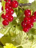 Vinbärbuske Royaltyfria Bilder