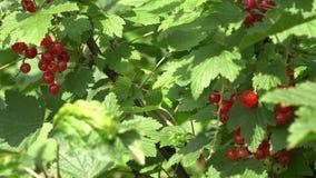 Vinbärbusken med röda mogna bär samlar ihop i sommarträdgård 4K lager videofilmer