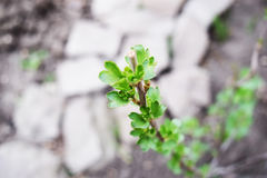 Vinbäret Bush Royaltyfri Bild