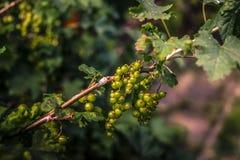 Vinbärfrukt Royaltyfri Bild
