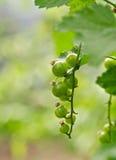 vinbärgreen Royaltyfri Fotografi