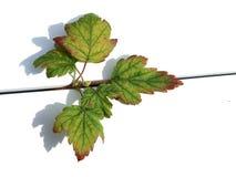 Vinbärsjukdom Arkivfoto