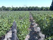 Vinbransch i den Maipo dalen, Chile Royaltyfri Fotografi