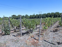 Vinbransch i den Maipo dalen, Chile Arkivfoto