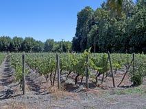 Vinbransch i den Maipo dalen, Chile Arkivfoton