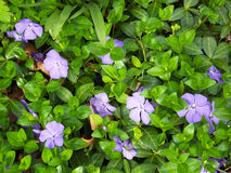 Vinca blooms Stock Photos