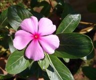 Vinca royalty free stock images