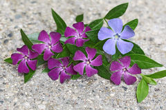 Vinca on concrete Stock Photos